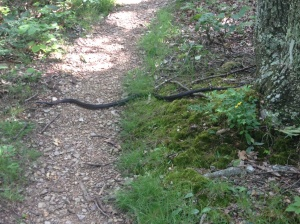 A posing black snake